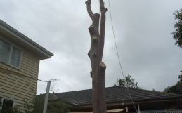 Very Dangerous Tree Removal In Frankston