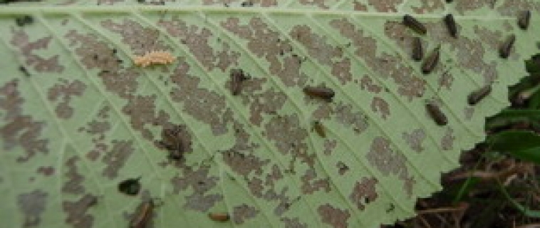 Elm Leaf Beetle Control